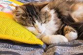 Closeup Of Longhair Tabby Cat Sleeping On Yellow Pillow poster