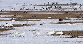 The family of whooper swan crossing the snow.