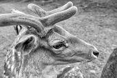 Tender Soft Horns Of Little Animal. Gorgeous Deer Close Up. Deer In Natural Environment Nature Backg poster