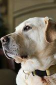 Labrador Retriever Posing, Mature Golden Labrador Dog poster
