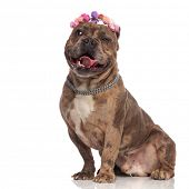 happy american bully wearing headband and silver collar, panting and sticking out tongue, sitting is poster