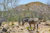 Single Zebra Scavenging In Natural Savanna Habitat In Namibia poster