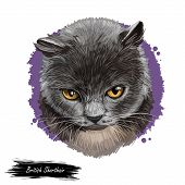 British Shorthair Cat Isolated On White Background. Digital Art Illustration Of Hand Drawn Kitty For poster