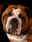 Bulldog Headshot