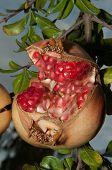 Opened Punica Granatum In Its Tree