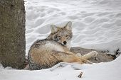Tired coyote