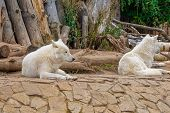 Arctic Wolf Or Polar White Wolf, Is A Subspecies Of The Gray Wolf. The Duo Of The Wolves In The Zoo poster