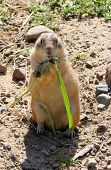 Prairie Dog Snacking