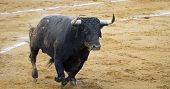 Spanish bulls (toros bravos) in Guadalajara province, Castilla La-Mancha, central Spain. Famous from the traditional Spanish bullfights.