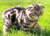 Постер, плакат: Шотландская вислоухая уши котенка ходить на природе зеленая трава