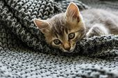 Gray Striped Kitty Sleeps On Knitted Woolen Gray Plaid. Little Cute Fluffy Cat. Cozy Home. poster