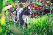 Kitten With A White Breast On A Green Grass Background. Little Cute Kitten.outbred Domestic Cat. Mes poster
