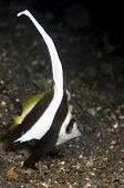 Longfin Bannerfish on Sand in Lembeh Straits