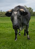 Portrait Of A Gray Cow With Horns