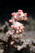 Pygmy Seahorse on Sea Fan in Lembeh Straits