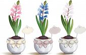 Pink, blue and white hyacinths in flowerpots over white background.