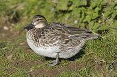 Female Garganey Duck