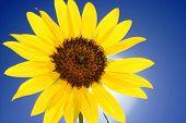 Close-up Of Sunflower On Blue Sky