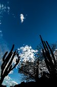 Cactus Silhouettes And Blue Sky