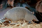 stock photo of edentate  - An Armadillo searching for food at night - JPG