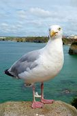 Seagull bird close up in Newquay, Cornwall UK.