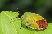 Bug do escudo verde e folha nos parques