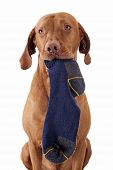 stock photo of vizsla  - pure breed golden color hunting dog holding socks in mouth isolated on white bckground - JPG