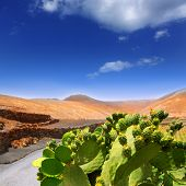 stock photo of nopal  - Cactus Nopal in Lanzarote Orzola with mountains at Canary Islands - JPG