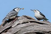 Pair Of Birds With A Peanut