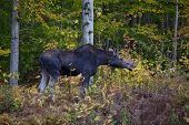 Moose Calf, Side View