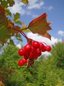 Red Berries - Guelder Rose