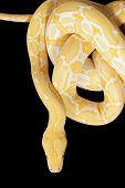 Tiger Albino Python Snake