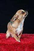 Cute Male Chihuahua Dog
