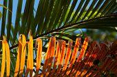 Golden evening light on palm leaf