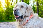 Portrait Of Golden Retriever Dog At The Park In Summer