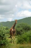 Постер, плакат: Masaai жирафы Самбуру игра заповедник Кения