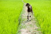 Baby goat at rice field. South India