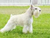 stock photo of schnauzer  - A small white salt Miniature Schnauzer dog standing on the grass looking very happy - JPG