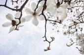 Close-up of white Magnolia tree blossoms.