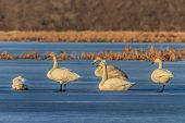Whooper Swan (cygnus Cygnus) On Lake