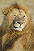 Big Male African Lion In The Maasai Mara In Kenya