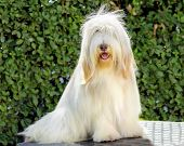 stock photo of collie  - A young happy beautiful white fawn Bearded Collie sitting - JPG