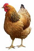 picture of animal husbandry  - Brown hen isolated on a white background - JPG