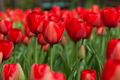 image of pale  - Bright colorful tulips - JPG