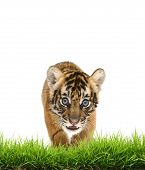 pic of white tiger cub  - baby bangal tiger with green grass isolated on white background - JPG