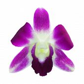 dendrobium orchid flowers isolation