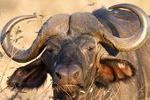 stock photo of cape buffalo  - Buffalo Face Portrait stare in Kruger National Park - JPG