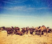 Vintage retro hipster style travel image of camels at Pushkar Mela (Pushkar Camel Fair). Pushkar, Rajasthan, India  with grunge texture overlaid
