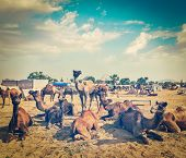 Vintage retro hipster style travel image of  camels at Pushkar Mela (Pushkar Camel Fair). Pushkar, Rajasthan, India