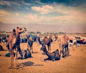 Vintage retro hipster style travel image of camels at Pushkar Mela (Pushkar Camel Fair), Pushkar, Ra